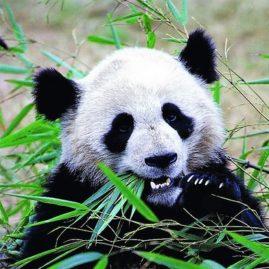Panda China Muenchina Privatreisen