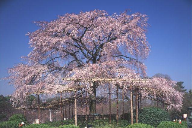 Kirschbluete Japanreise